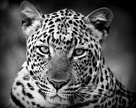 Chasin'Africa Leopard