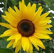 Sunflowers at Marlborough House Nursery School