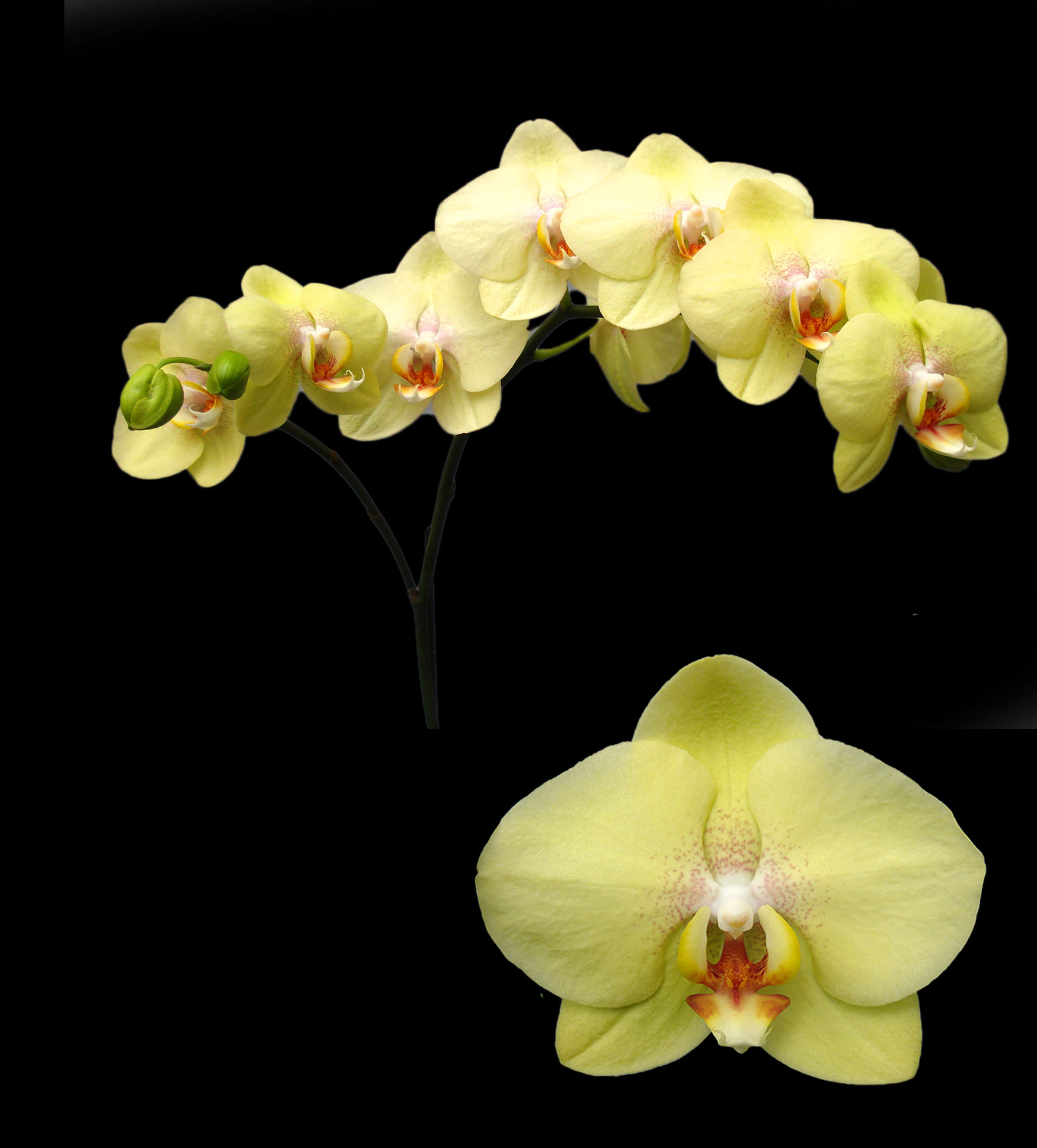 A07432-2-Phal. Jiuhbao Green Apple-LYS