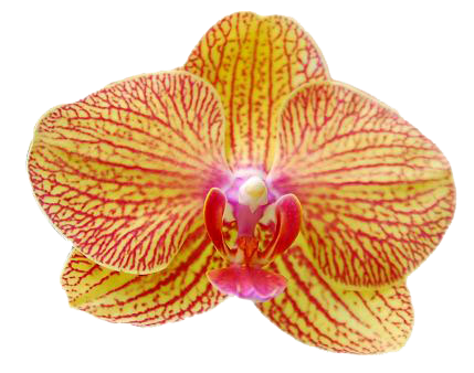 A08218-0-Phal. KV Beauty KV612-LYT