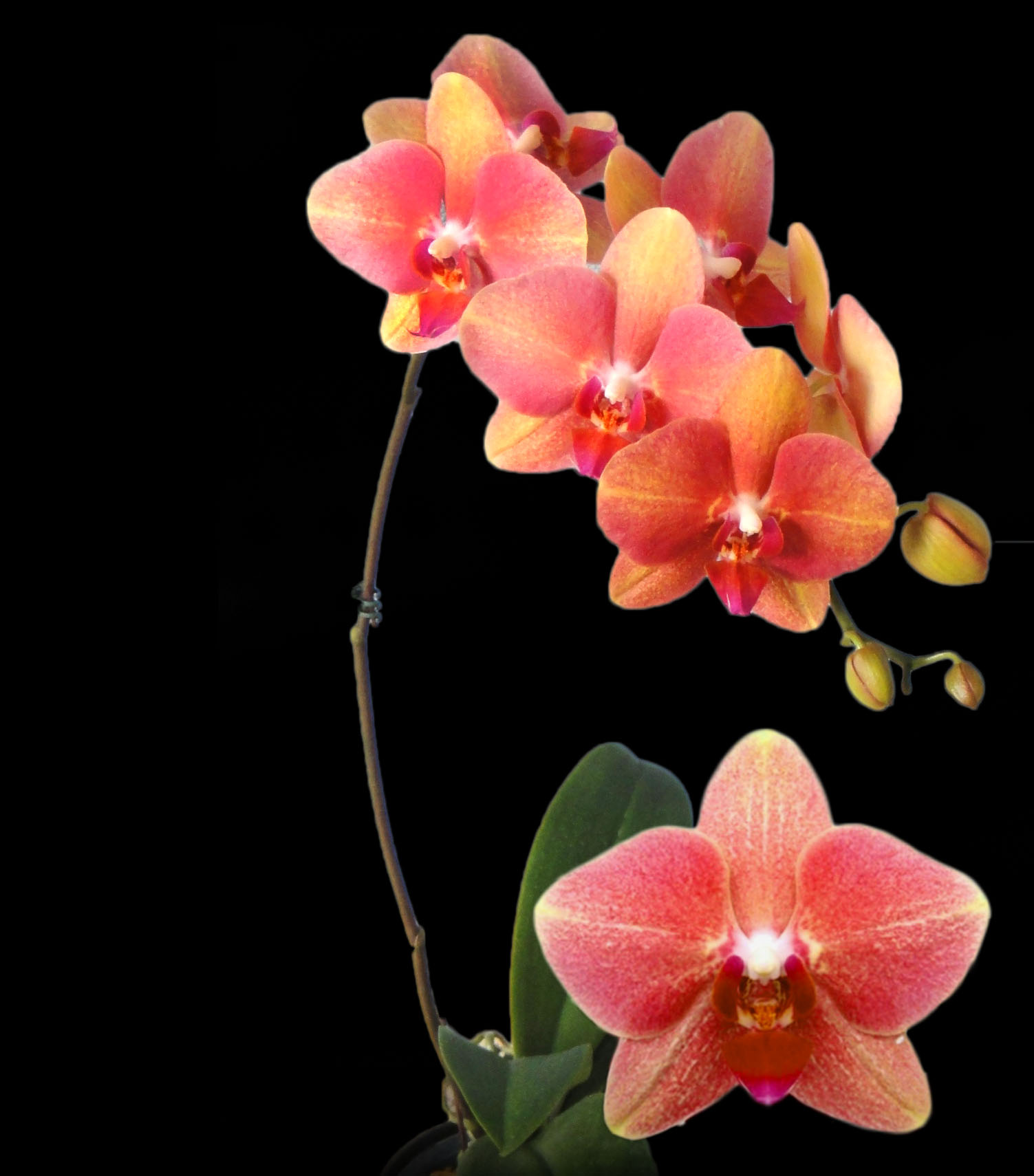 A07706-Phal. (Taipei Gold - Reuy Lih Beauty) A07706(1)