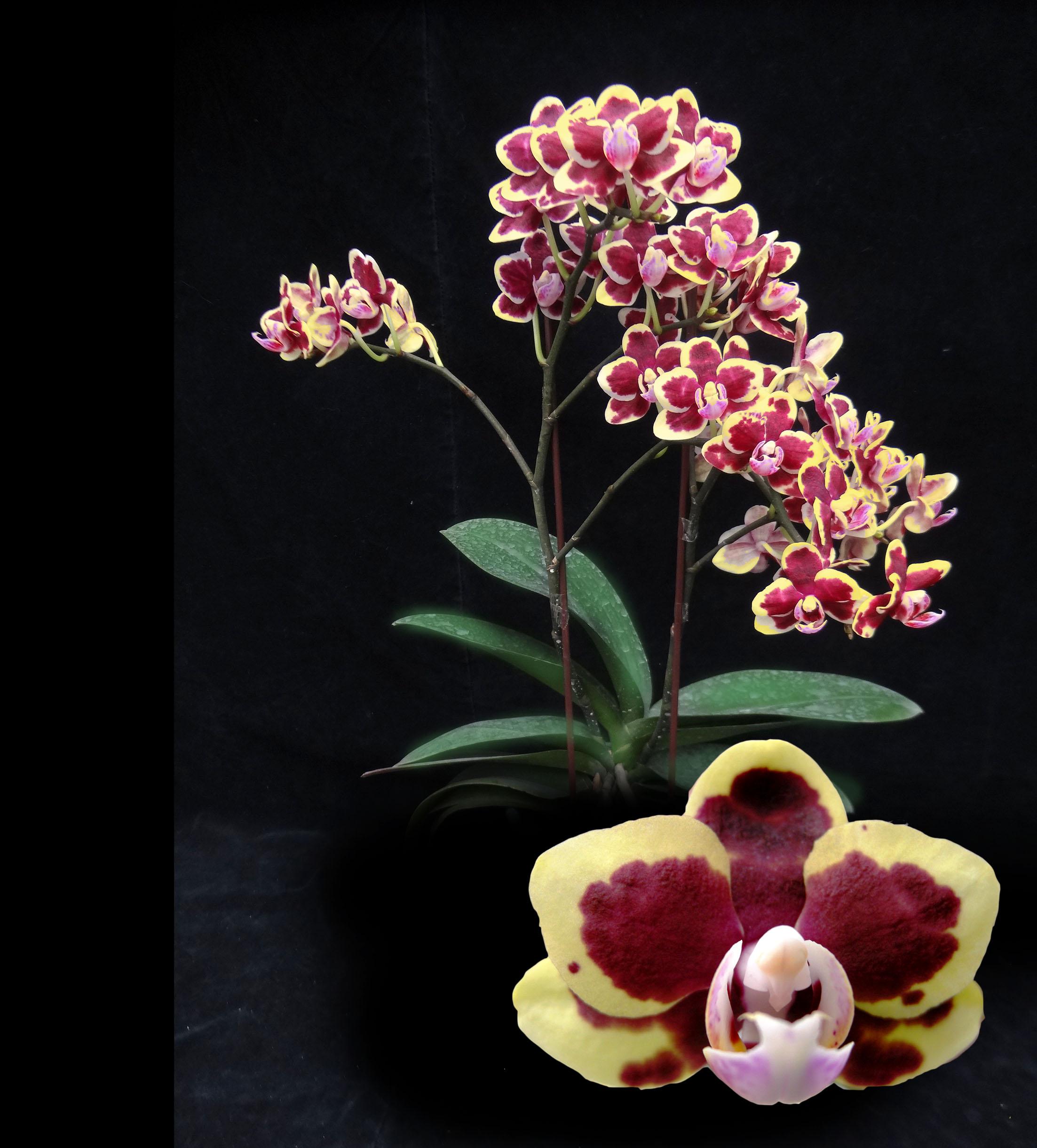 A07403-Dtps. Lioulin Sparrow Taida Violet Butterfly