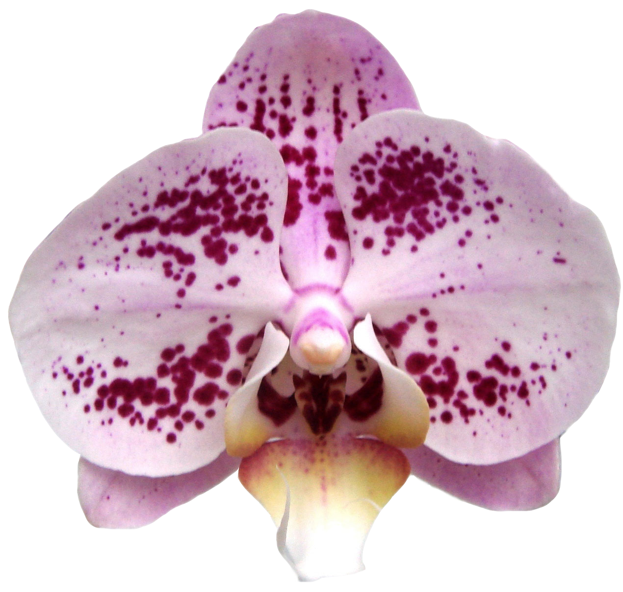 A04949-Dtps. Taida Pearl Taida Pink Lady