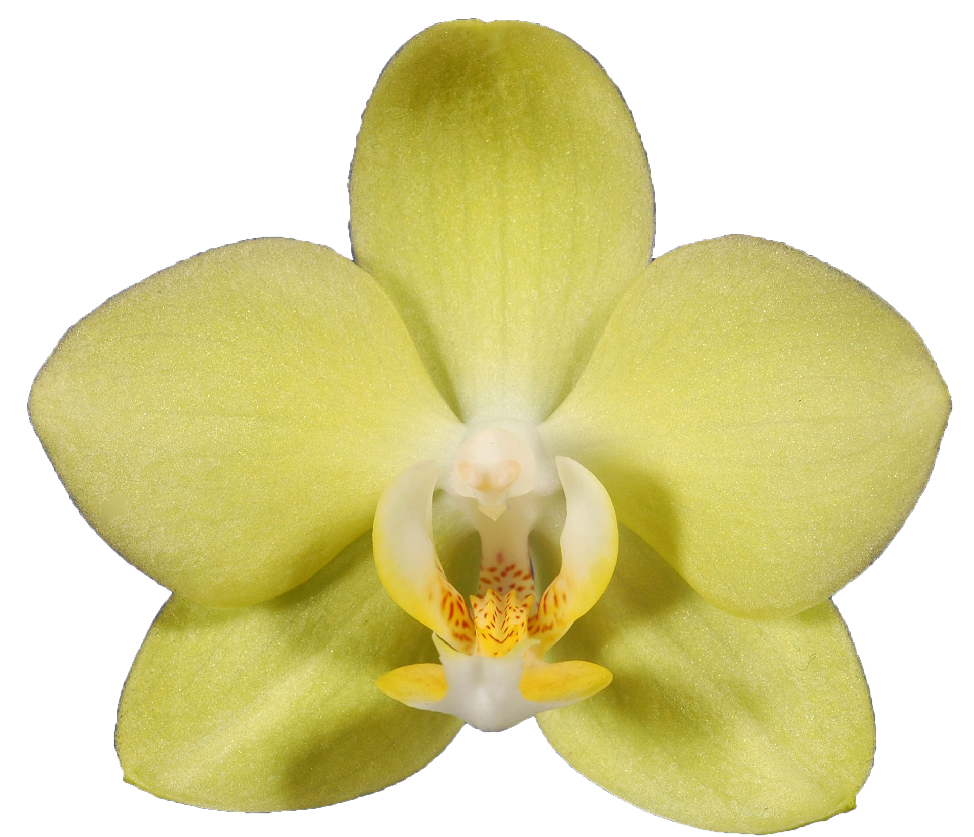 A06371-0-Phal. Taida Smile -Taida Little Green-SG
