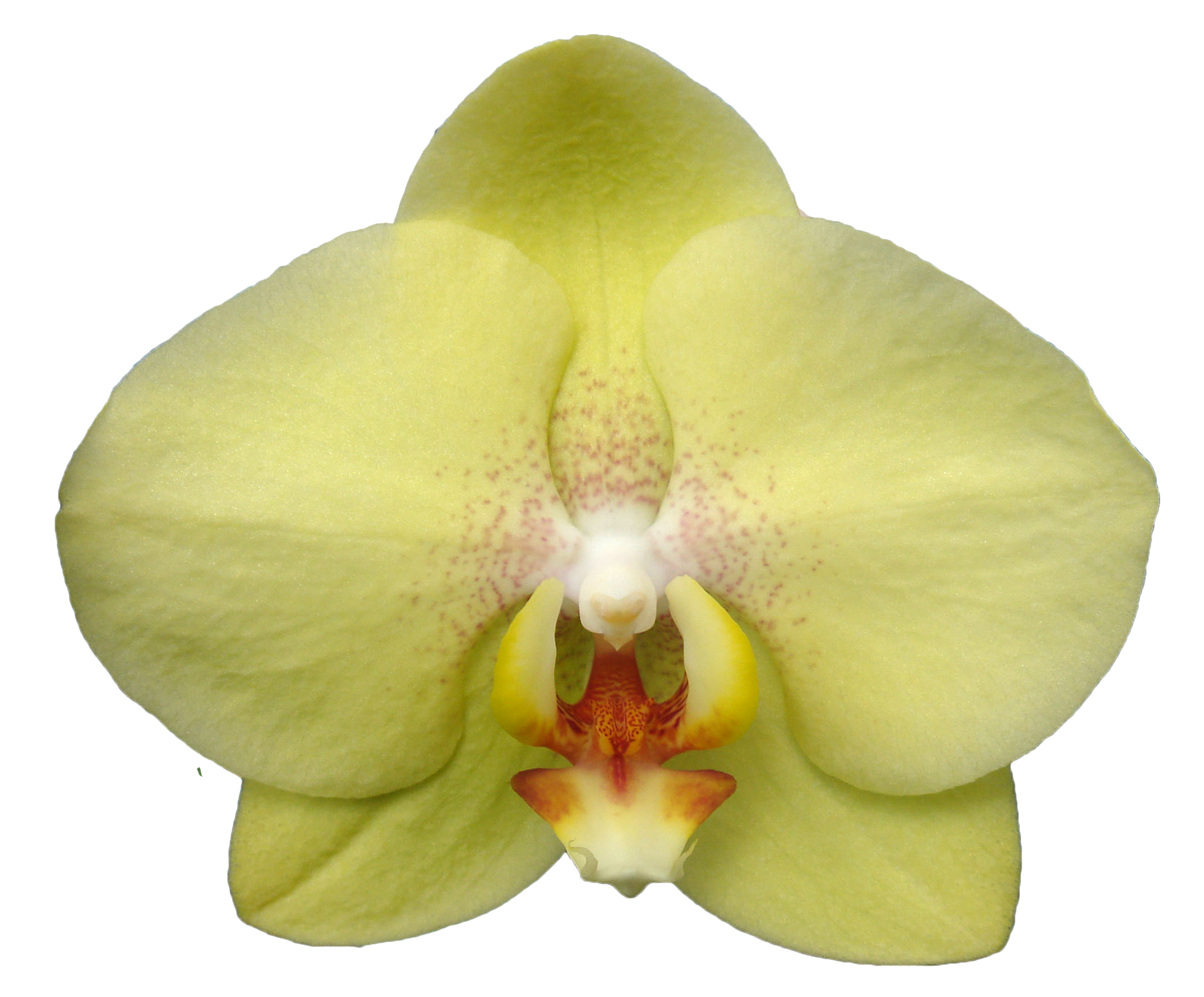 A07432-0-Phal. Jiuhbao Green Apple-LYS