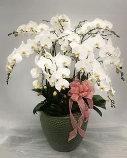 Large White Orchids Arrangement
