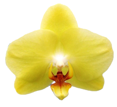 A05001-Phal. Green Yellow Green Joe (1)