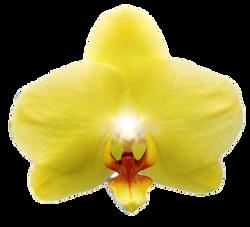 A05001-Phal. Green Yellow Green Joe (1)