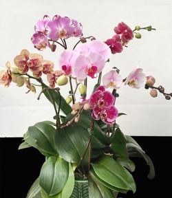 Assorted Color Orchids Arrangement