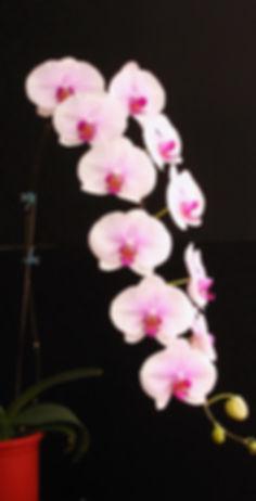 A09386-Dtps. Gu Keng Beauty 'A09386'-LWR