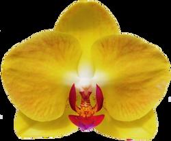 A10045-Phal. Taida Sunflower Boy Taida Apollo