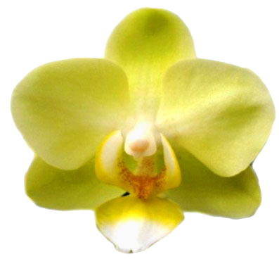 A07488-Phal. Pure Moon Green Pixie(綠精靈)