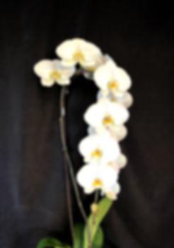 Cascading Large White Phalaenopsis Orchids