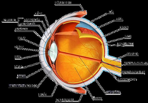 מבנה העין האנושית