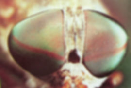 העיניים המורכבות יעילות יותר בקליטת פוטונים