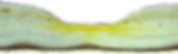 הפיגמנטים לסאין וזאקסנטין נותנים צבע צהוב למקולה