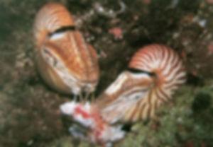 עין חור הסיכה של אורגניזמים כמו הניאוטילוס פומפיליוס: סילוניות