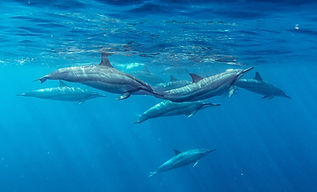 Spinner Dolphins, dolphin tour