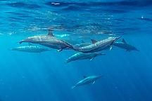 Spinner Delfine