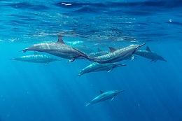 Spinner dolfijnen