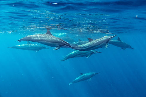 Oahu Spinner Dolphins