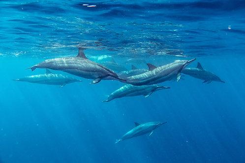 Observation des dauphins sauvages.
