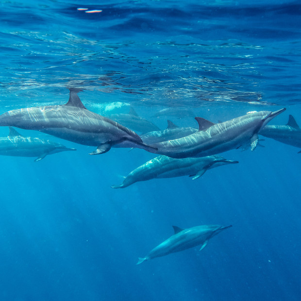Channel Islands Dolphins