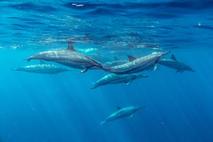 Dauphin à long bec · Spinner dolphin · Stenella longirostris