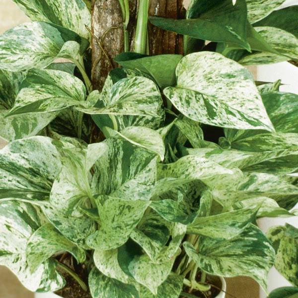 Epipremnum Marble Queen Pothos (Devil's Ivy)