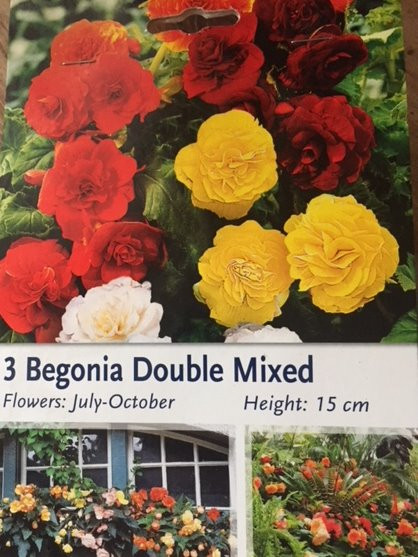 Begonia from Tubers