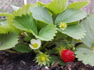 Pyszne truskawki z własnego ogródka