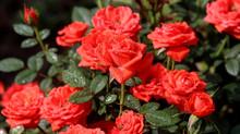 Różne róże