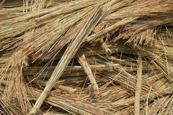 Malawi Sam's village thatch collected in Salima which is regarded as the best (s