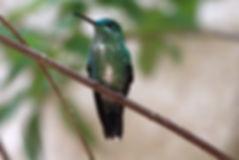 Belle Humming Bird