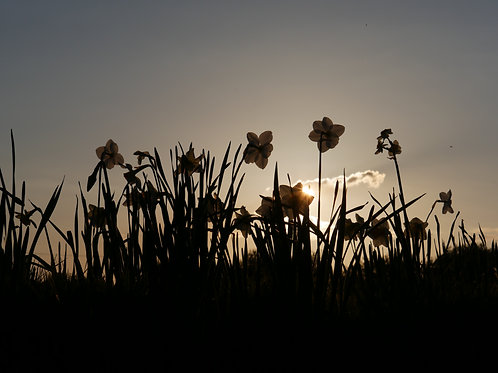 Daffodils at Sunset - Spring 2017