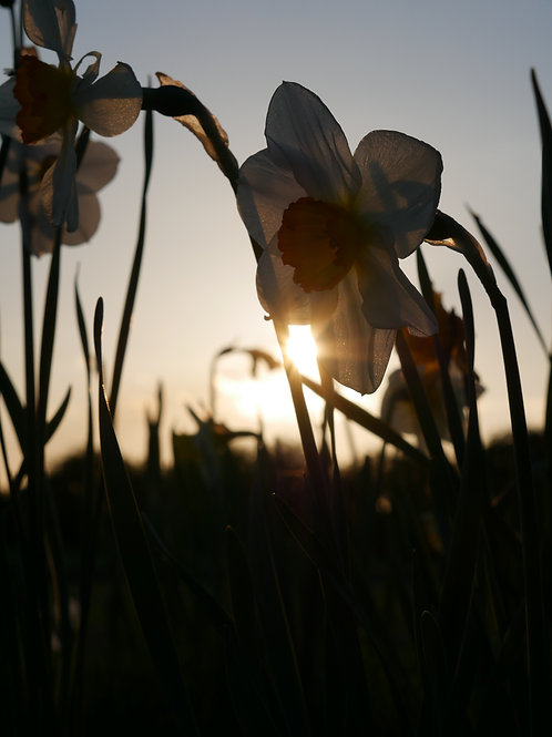 Daffodils at Sunset II - Spring 2017