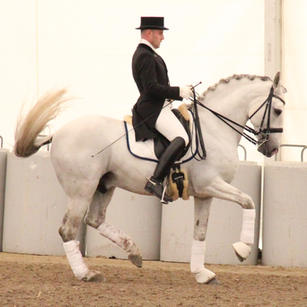 Taxativo, Lusitano stallion