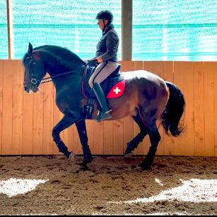Ibério, Lusitano stallion