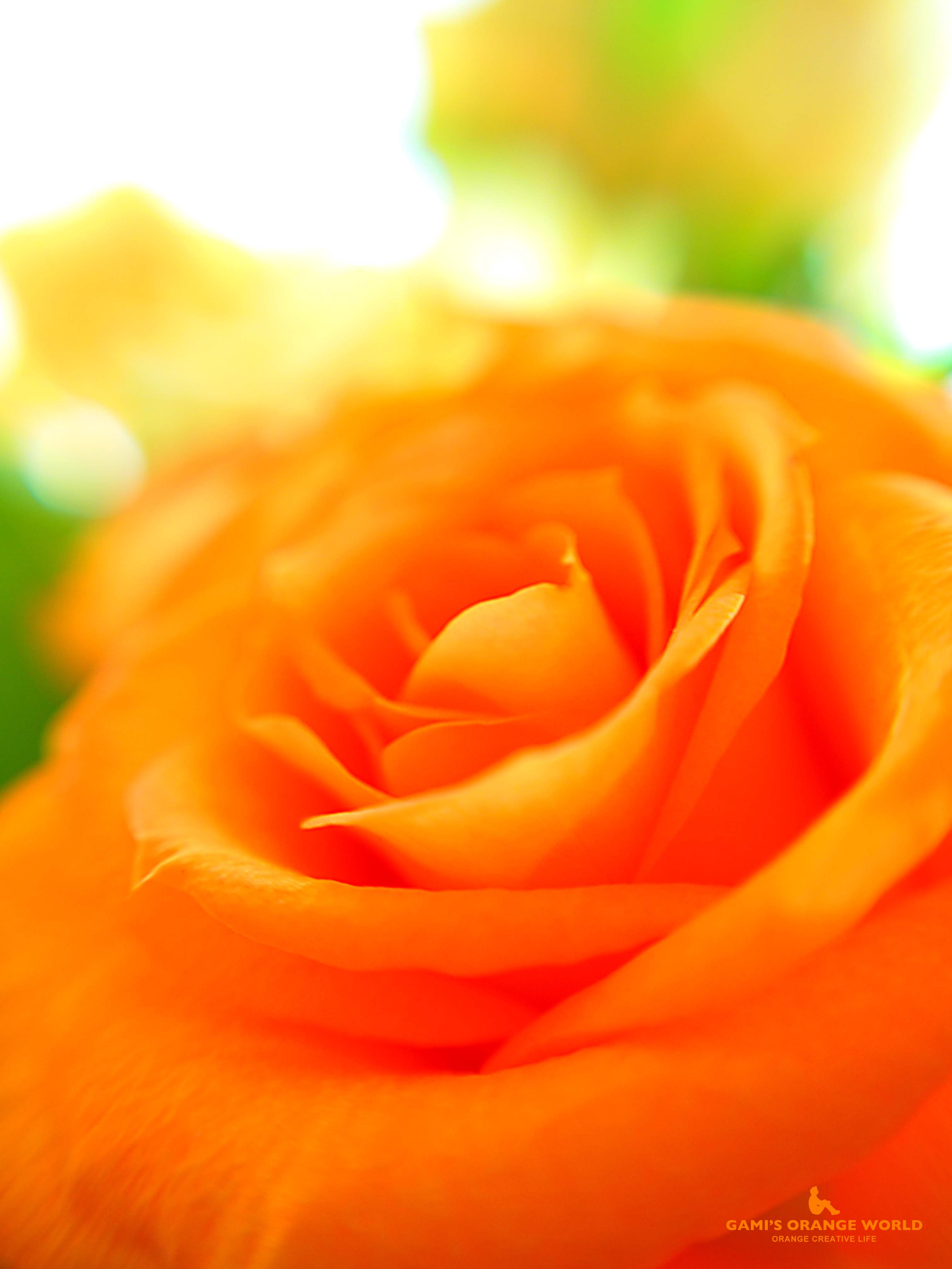 0275オレンジのバラ2 のコピー