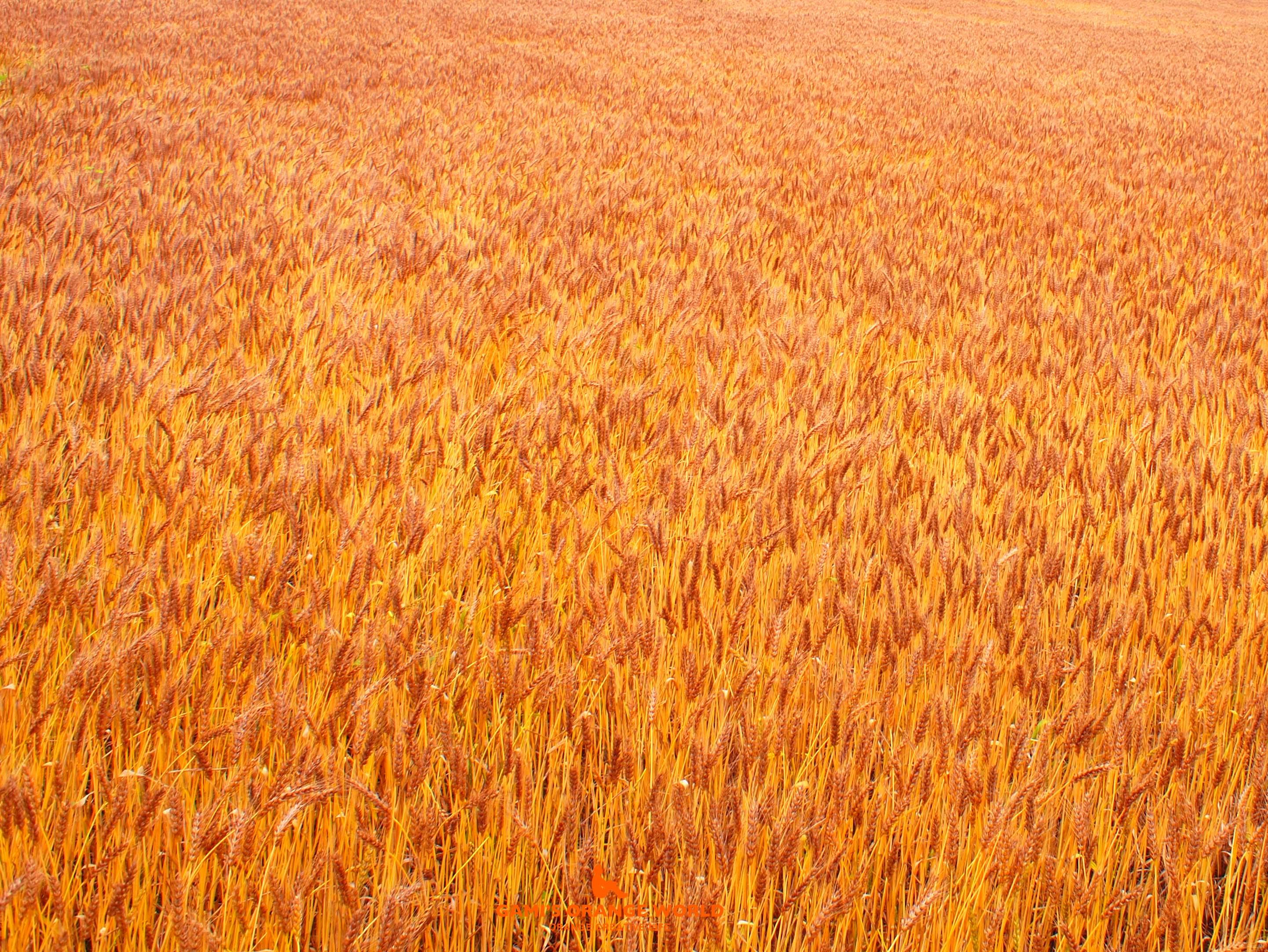 0320麦畑2 のコピー