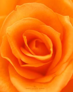 0275オレンジのバラ3 のコピー