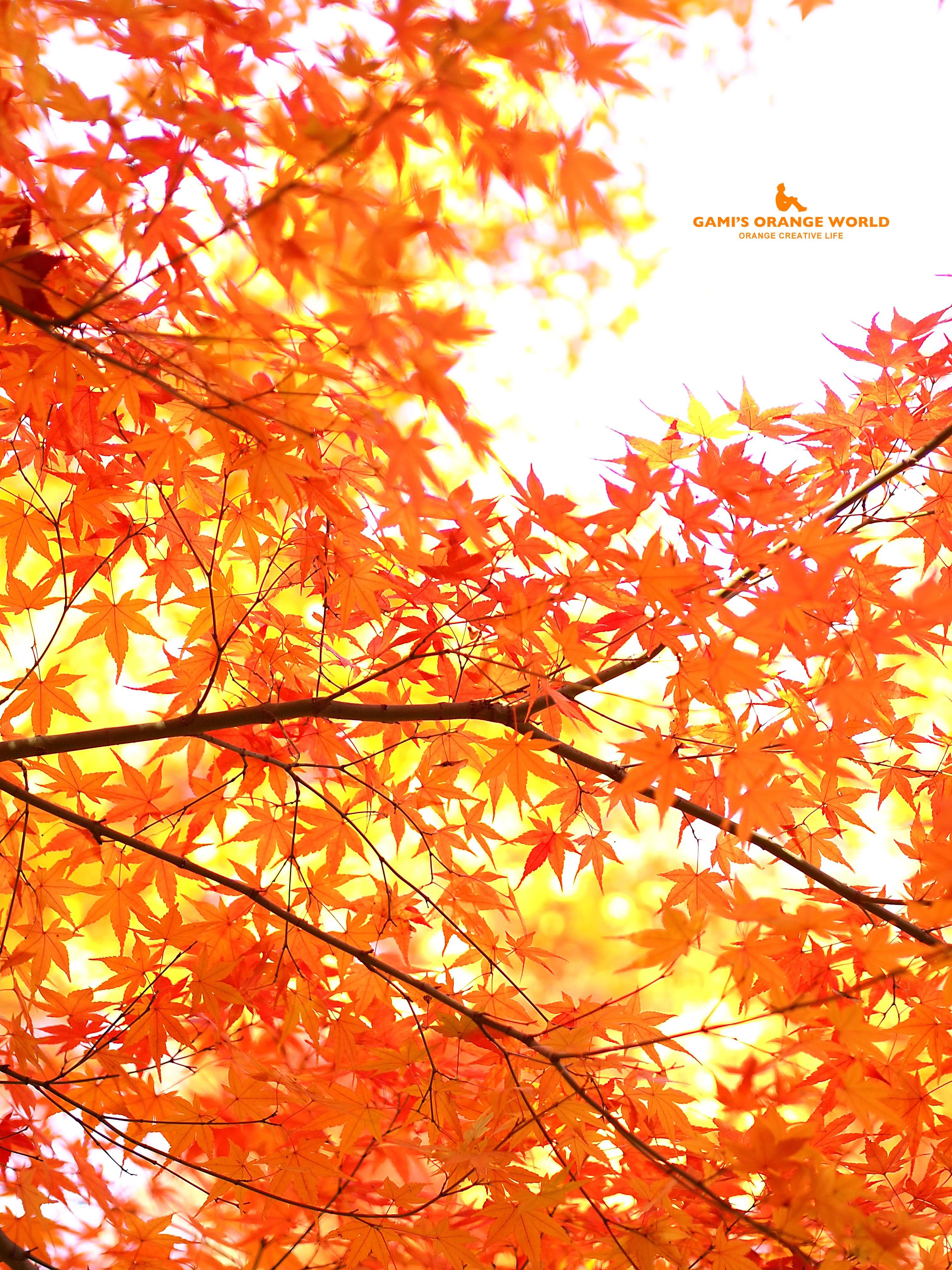 0461花田苑の紅葉4 のコピー