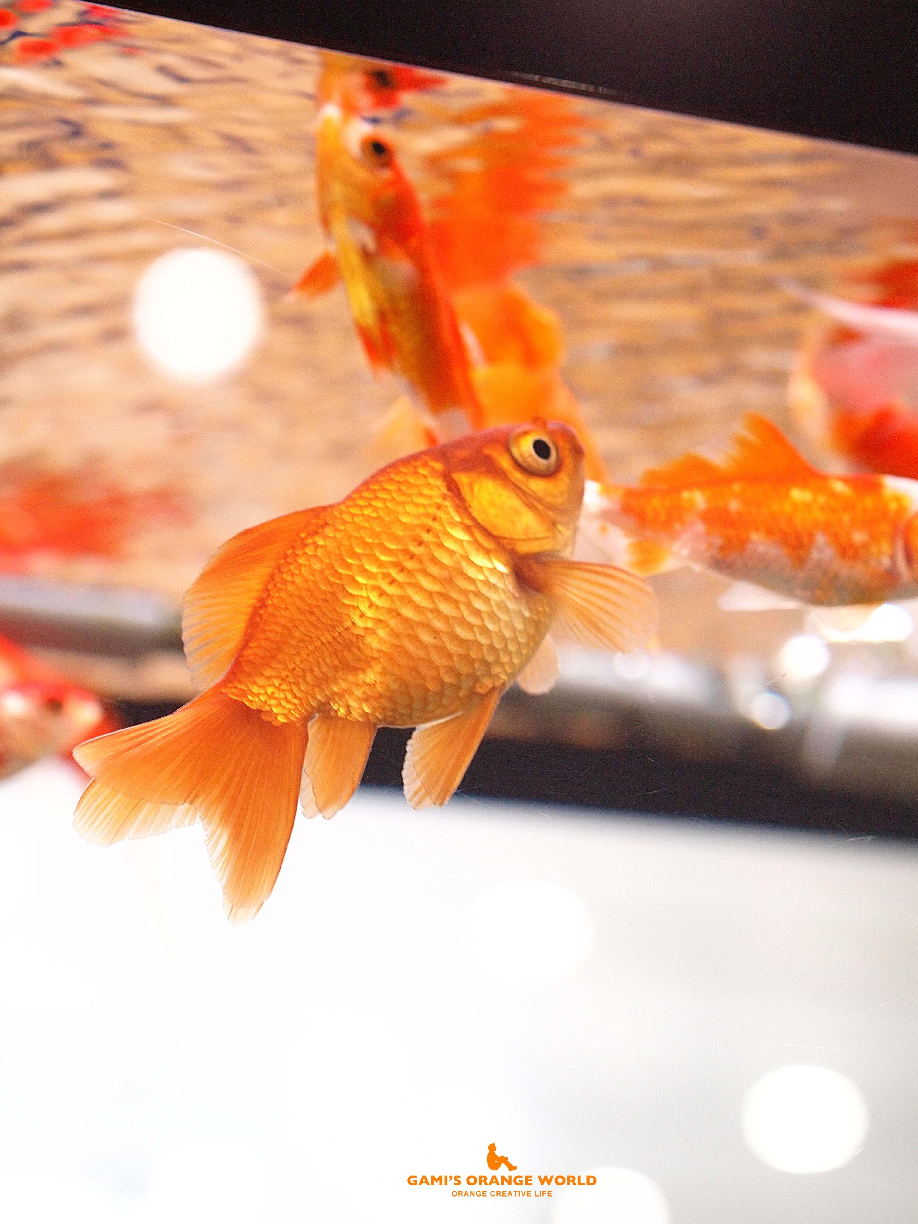 0577金魚1 のコピー
