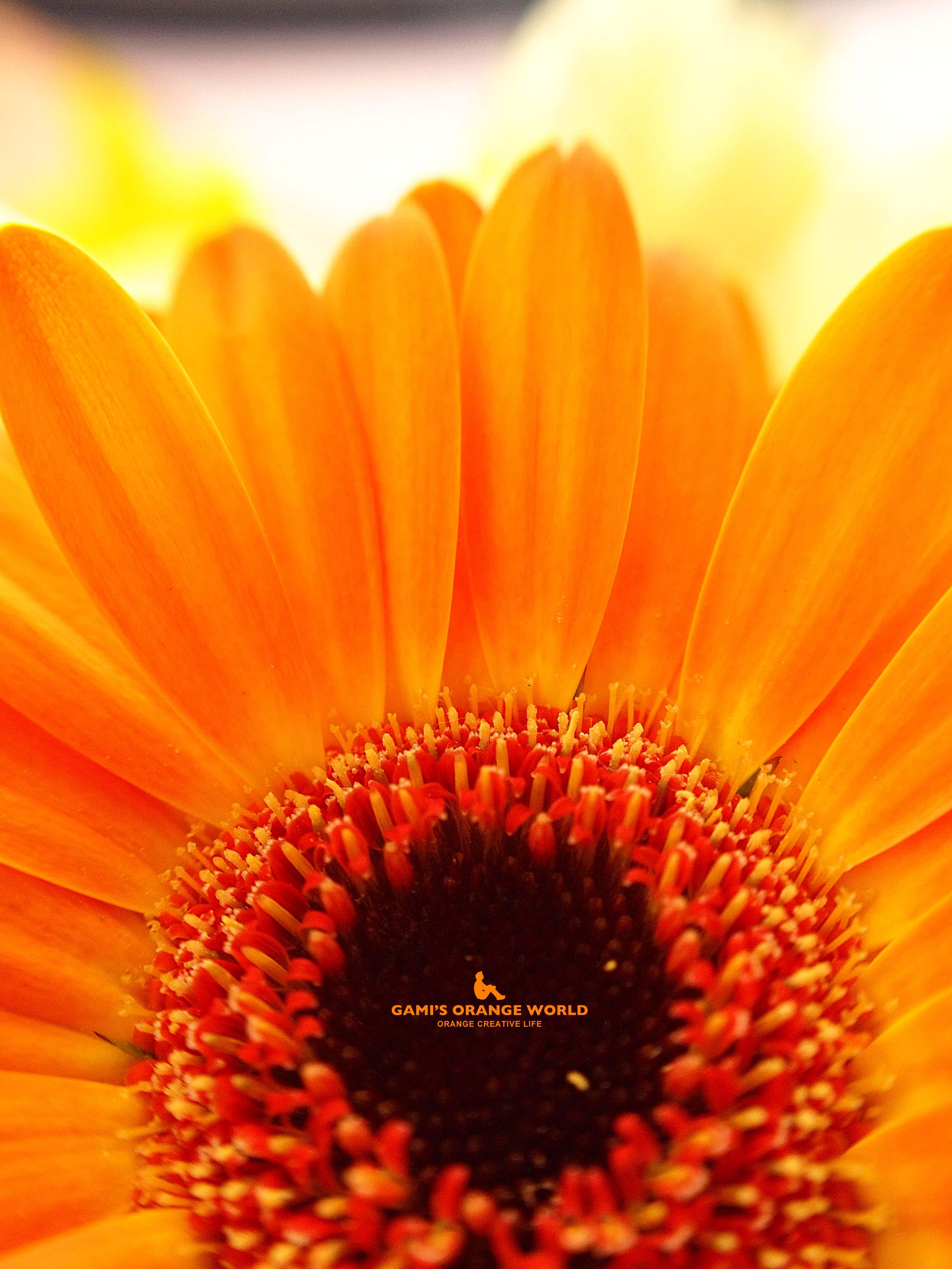 0568オレンジのガーベラ のコピー