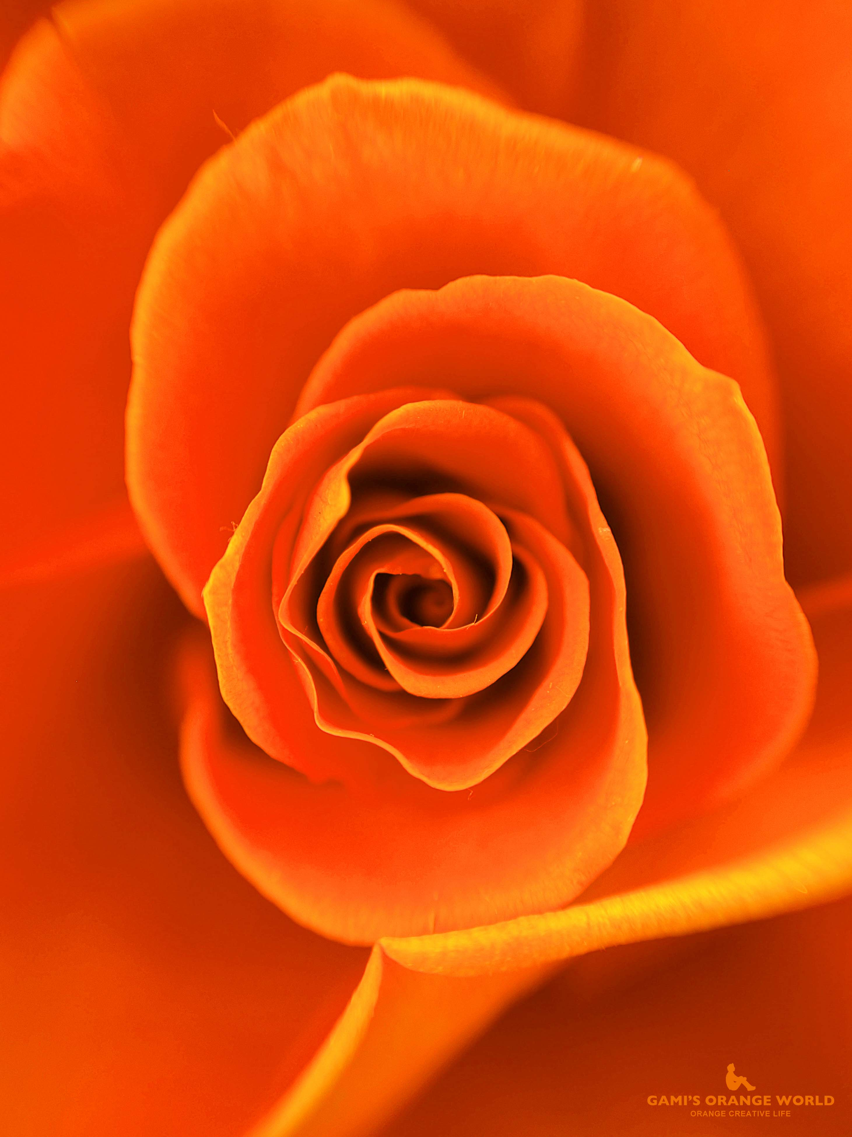 0592オレンジの薔薇2 のコピー