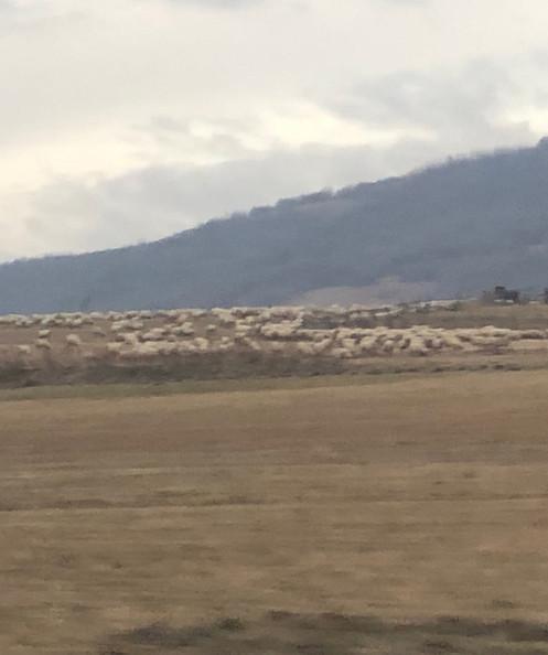Sheep lots of Sheep