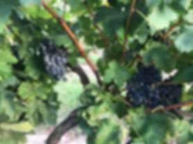 Tempraniilo grapes at Pemberton Cellars Winery
