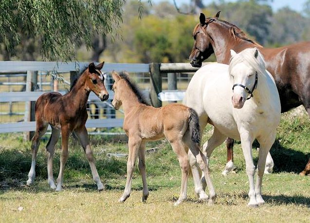 2015 foals x Top Der Da