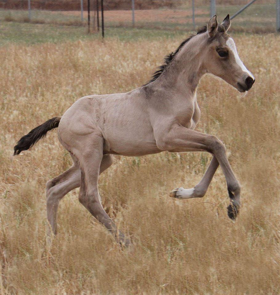 Buckskin filly x Golden Rock