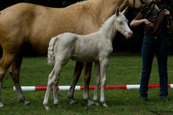 Golden West as foal